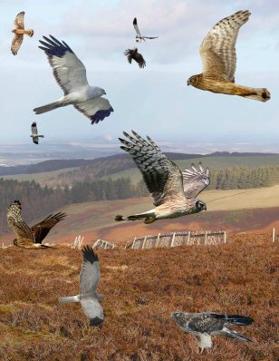 Hen_Harrier_from_the_Crossley_ID_Guide_Britain_and_Ireland