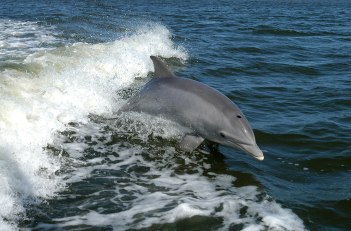 Tursiops_truncatus_01