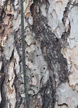 Corsican_Pine_Pinus_nigra_laricio_Lightning_Protection.JPG