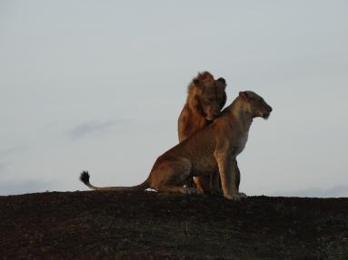lion pair parmisa