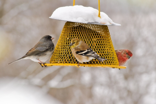 American_Goldfinch_Dark_eyed_Junco_Purple_Finch_18560_Cynthia_Raught_Numidia_PA2015_High ASHLEY DAYER