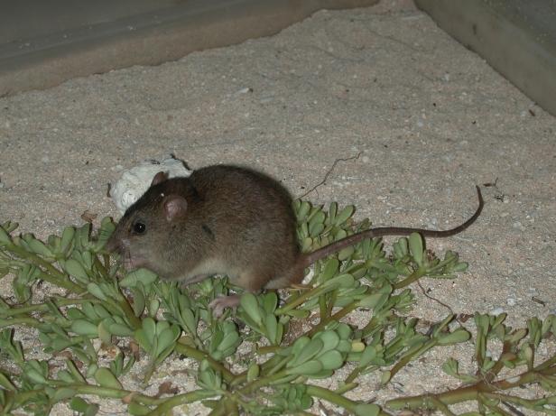 Bramble Cay melomys (Melomys rubicola)